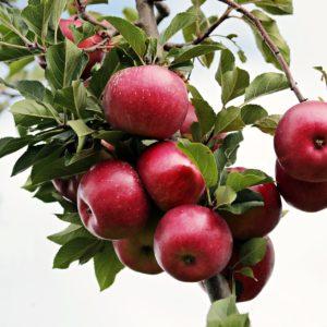 Плодово-ягодные культуры